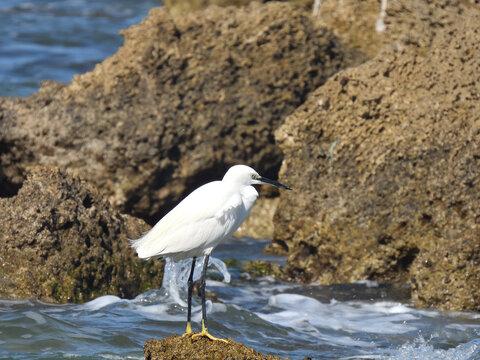 A little heron sits on a rock