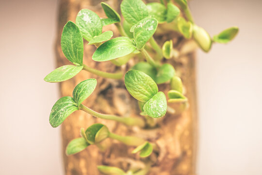 plant growing in a pot. organic microgreens. microgreen sprouts.
