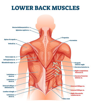Lower back muscles labeled educational anatomical scheme vector illustration. Rear human structure model with medical titles for healthcare study handout vector illustration. Parts location example.