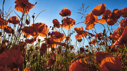 blooming poppies up to the blue sky
