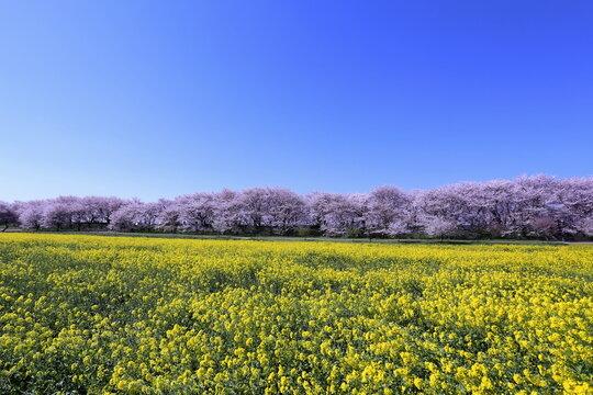 権現堂桜堤にて満開の桜と菜の花