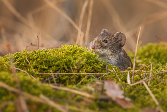 Common Vole - Microtus arvalis, common small rodent from European meadows, grasslands and fields, Zlin, Czech Republic.