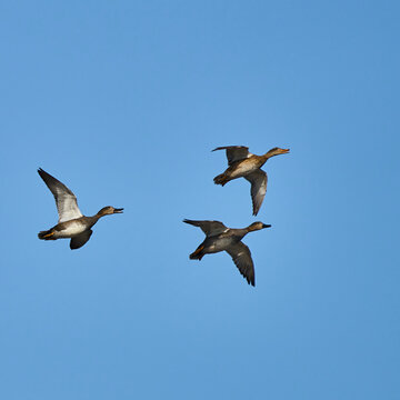 Three gray geese in flight, isolated against clear blue sky, scientific anser anser