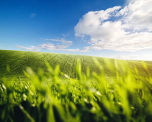 Wall Mural - Rows of fresh green wheat in sunshine. Location place in Ukraine, Europe.