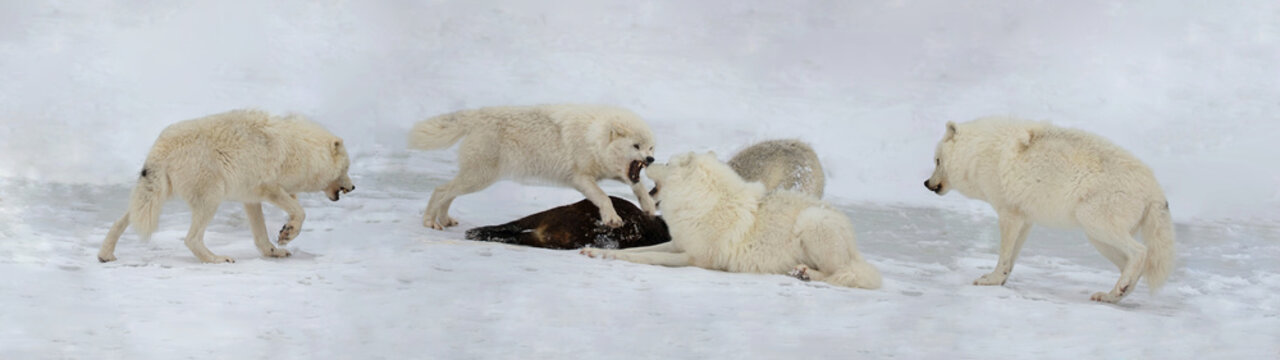 pack of arctic wolves hunting