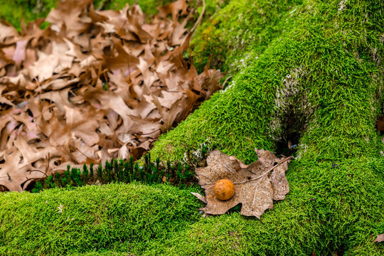 dried oak leaves and moss in the forest