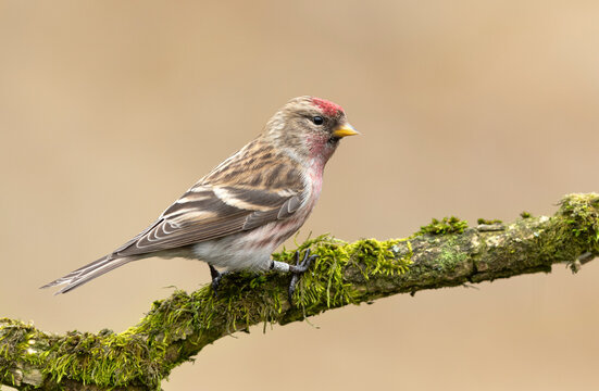 Redpoll bird close up ( Acanthis, flammea )