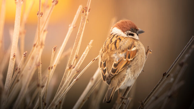 Sparrow sitting on a branch of a bush, selective focus.
