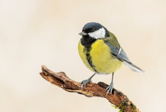 Great tit close up ( Paerus major )