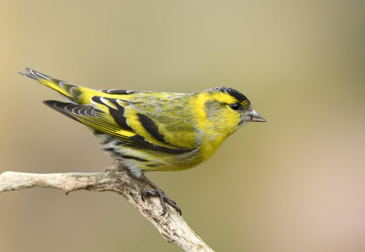 Siskin ( Carduelis spinus ) bird close up