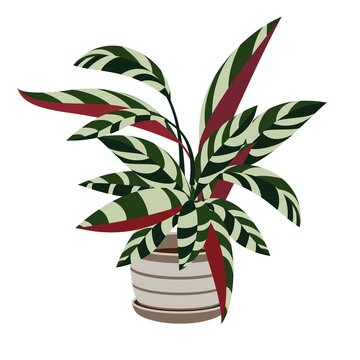 Stromanthe sanguinea Indoor Plant in white pot. Beautiful Image For Online Store