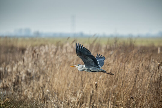 Great Blue Heron, Ardea cinerea, in close up focus flying over a swamp with dead vegetation in winter period against blurred background