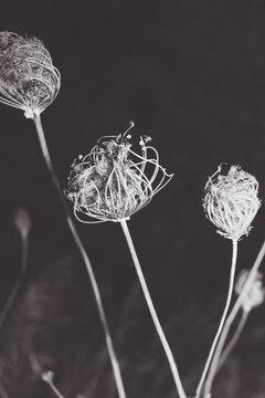 Ammi majus toothpick - israeli dry flower neture in black and white