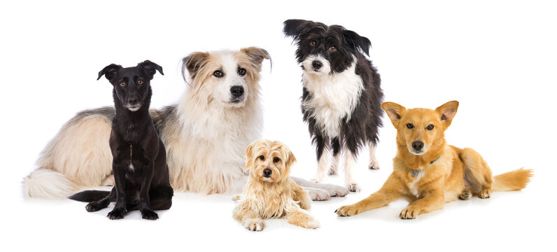 Group of cross breed dogs isolated on white background