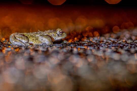 Toad migration,stock photo
