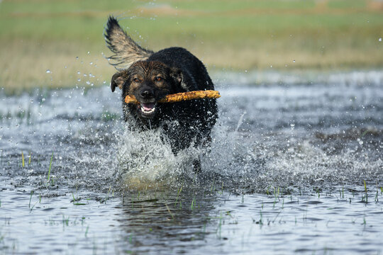 German shepherd dog playing in water with stick