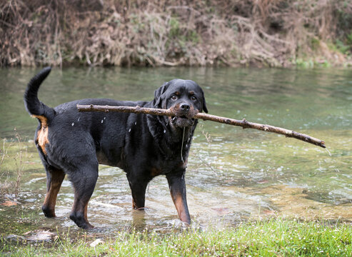 rottweiler in nature
