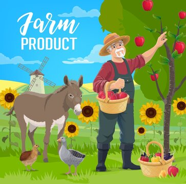 Farmer fruits and vegetables harvest. Senior farmer in straw hat picking apples from tree, harvesting garden vegetables in wicker basket, donkey, goose and quail, fields vector. Farm products banner