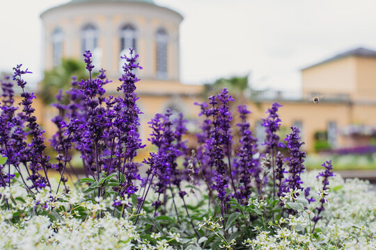 Blooming lavender bushes on a summer day in the botanical garden.