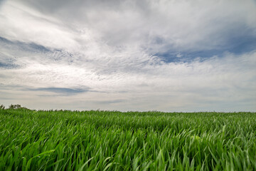 Fototapete - Rural summer landscape. Green field of wheat and blue sky on farm. Green meadow. Nature landscape, wilderness. Agriculture. Countryside outdoors, scenic view.