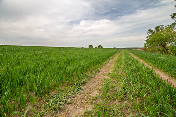 Fototapete - Rural summer landscape. Green field of wheat and blue sky on farm. Road through green meadow. Nature landscape, wilderness. Agriculture. Countryside outdoors, scenic view.
