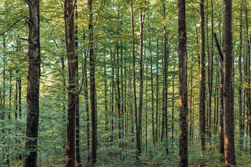 Deciduous tree forest in summer