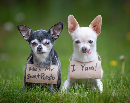 Two cute chihuahuas wearing signs written on toilet paper rolls in green grass