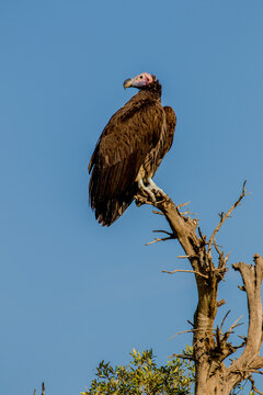 Lappet-faced Vulture.  The lappet-faced vulture or Nubian vulture is an Old World vulture belonging to the bird order Accipitriformes, which also includes eagles, kites, buzzards and hawks.