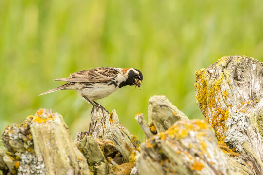 USA, Alaska, Nome. Lapland longspur bird with food.