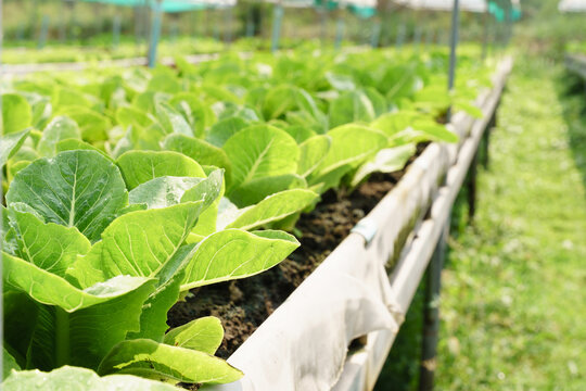 Fresh organic Romaine lettuce growing in vegetable plots inside clean and beautiful greenhouse farm. Sustainable agriculture, Agroecosystem, Healthy food, Supply chain, Wastewater, Farm to fork