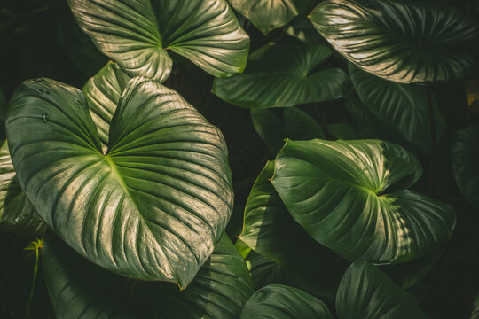 Natural tropical green leaves plants for background use.