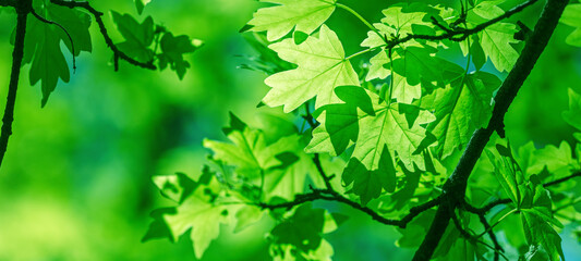 Fototapeta spring. branch with fresh green maple leaves on blurred forest background obraz