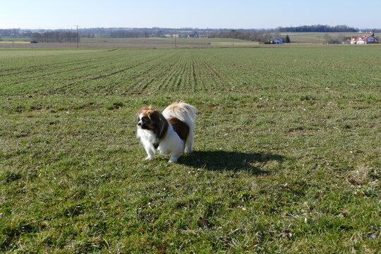 Kleiner Hund beim Spazierengehen am Feldrand in der Natur - Wald, Wiese, auf dem Land