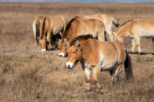 A group of Przewalski horses near Neusiedler See