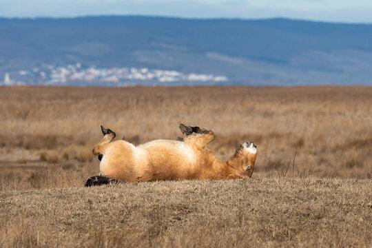 A Przewalski horse lying on the ground on a meadow near Neusiedler See