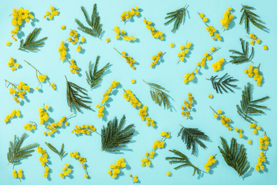 Flowers composition. Yellow mimosa flower and leaves on blue background. Spring concept. Flat lay, top view