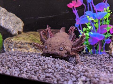 Axolotl smiling