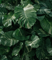 Ciemno zielone naturalne t艂o, tropikalne li艣cie monstera.