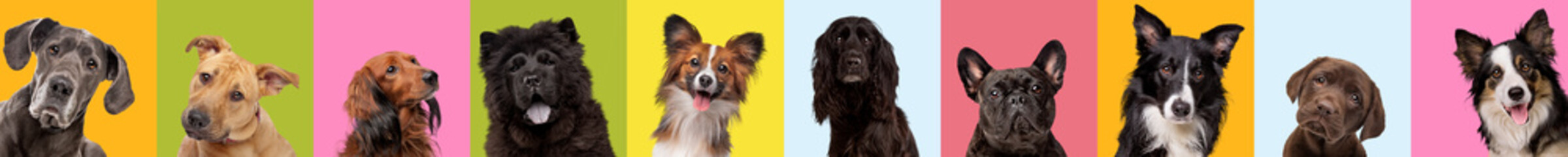 Collage of ten different dog breeds on multicolored bright background