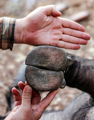 Hoof of wild African buffalo compared to the palm of human.