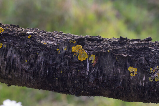 A closeup of a lichen on a weathered tree branch