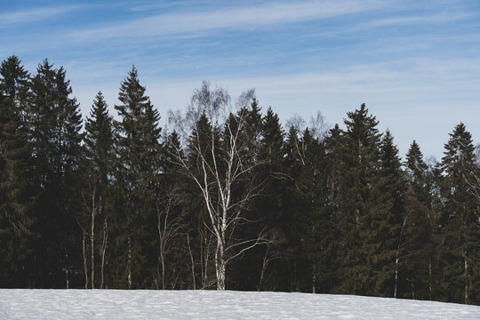 A birch in front of spruce trees by Sagelven River, Toten, Norway, in winter.