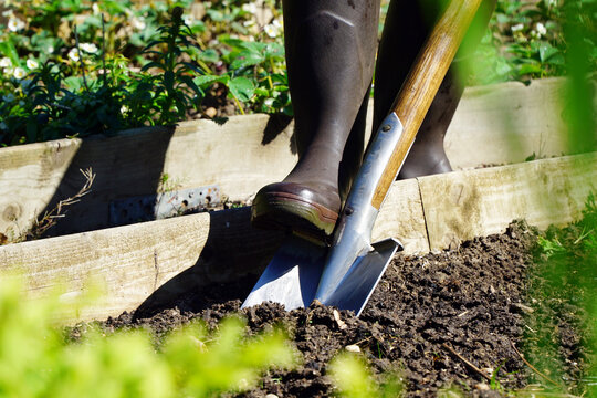Woman gardening in the garden while digging a bed with spade on a sunny spring day