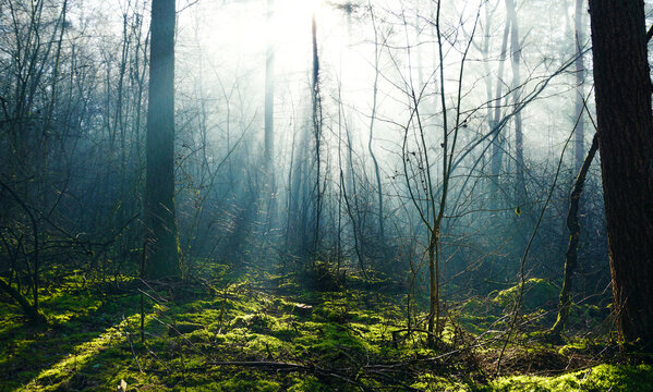 Sun rays shine in the deciduous forest and illuminate the moss. It's early in the morning with some fog still in the air