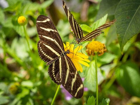 Two Zebra Heliconian or Zebra Longwing butterflies on o yellow flower