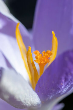 bee searching for pollen in a crocus plant
