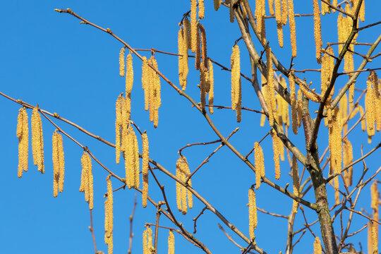 Blüten der Gemeinen Hasel (Corylus avellana) vor blauem Himmel im März. Haselpollen können Allergien auslösen.