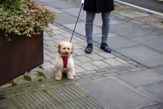 A very cute brown scruffy dog being taken for a walk by a man