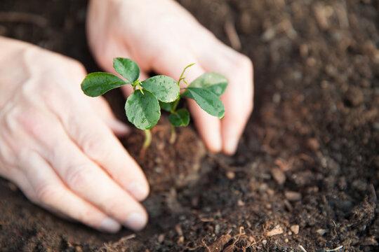 両手で地面に苗木を植える