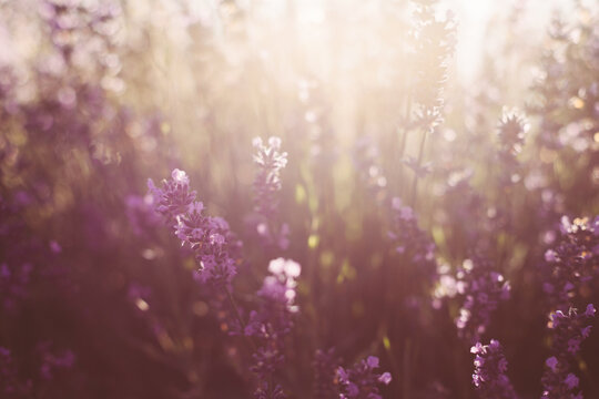 Spring background. Field of purple lavender in defocus.Natural background, concept of natural cosmetics and aromatherapy.